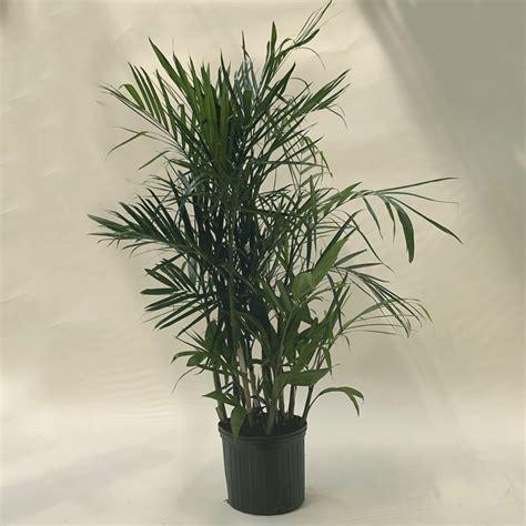 chamaedorea seifrizii bamboo palm plant nursery
