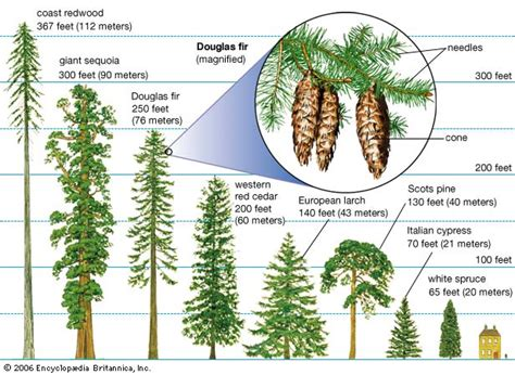 define tree forestry learning definition of conifer coniferous forest