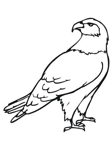 Hawk Bird Coloring Page  SuperColoringcom sketch template