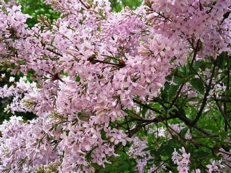 lilac flowering shrubs pin by s on my garden 7a zone plants