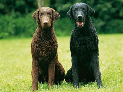 curly coated golden retriever curly coated retriever chien et chiot retriever 224 poil