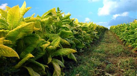 Log Home Styles by Genetic Engineering Transforms Tobacco Plant Into An
