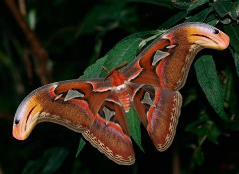 Imagenes De Mariposas Nocturnas | galer 237 a de im 225 genes mariposas nocturnas