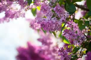 Lilac Flowers Lilac Flower Purple Photo 34733577 Fanpop