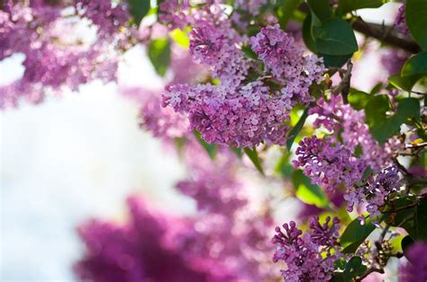 lilacs flowers lilac flower purple photo 34733577 fanpop