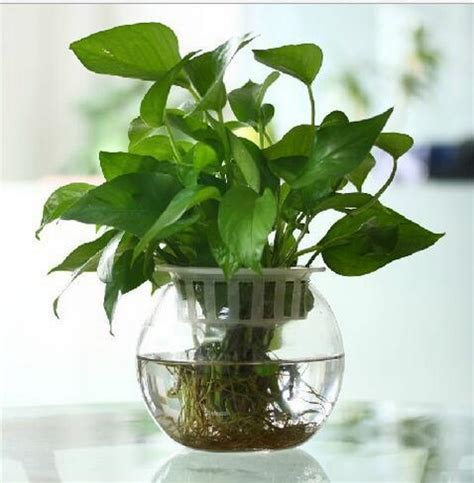 Plant In Vase by Large Size Dia New Clear Glass Shape