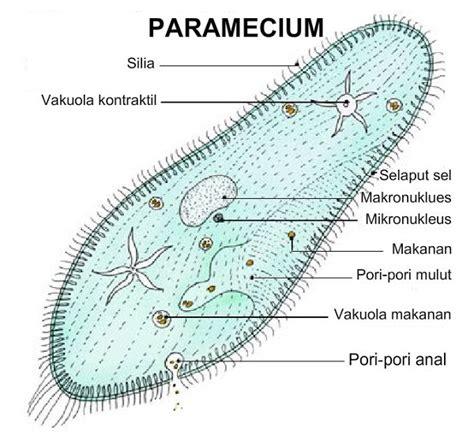 paramecium diagram paramecium diagrams hd diagram site