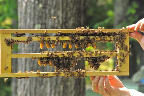 Raising Honey Bees In Your Backyard by Bee Raising The Of Bee