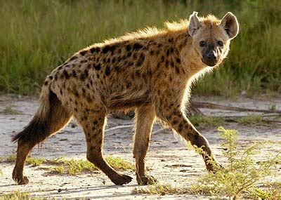 images of hyenas beautiful animals safaris dangerous hyenas limping uphill