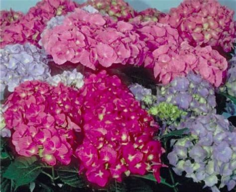 fiori ortensie ortensia