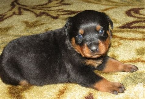 rottweiler puppies sc home raise german rottweiler puppies for sale in columbia south carolina classified