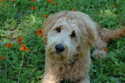 goldendoodle puppy for sale in mn puppies for sale goldendoodle goldendoodles f