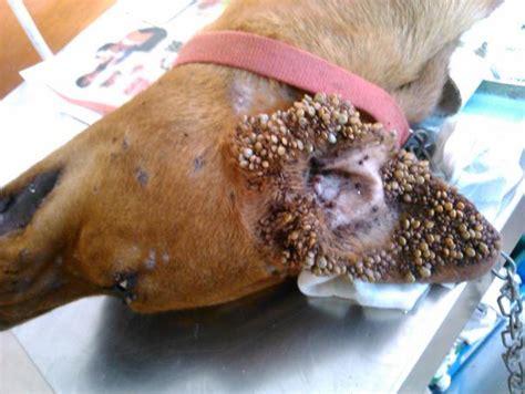 pictures of ticks on dogs the howler terrible ticks samoa observer