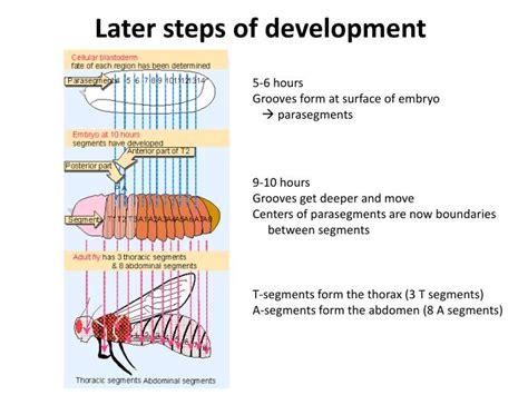 pattern formation ppt ppt pattern formation in drosophila powerpoint