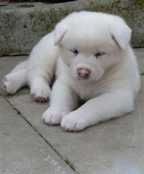 akita inu puppy akita puppies doglers