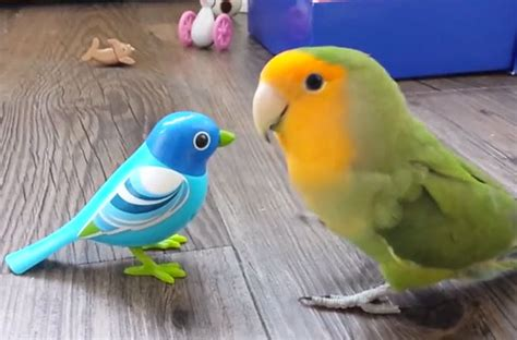 love bird rescue lovebird scopes out robo bird and acts totally lovebird around it petcha