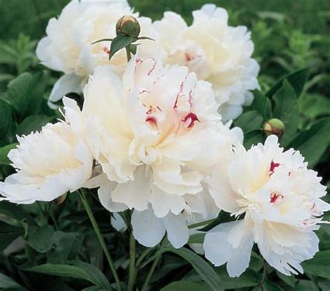 Maxiinner Peony 187 paeonia lactiflora festiva maxima the gardener s