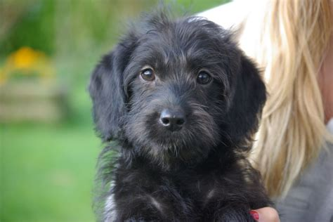 black labradoodle puppies lovely black silver miniature labradoodle puppies radstock somerset pets4homes