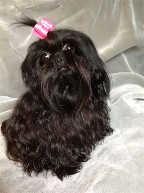 shih tzu rescue east shih tzus furbabies smokey breeds picture