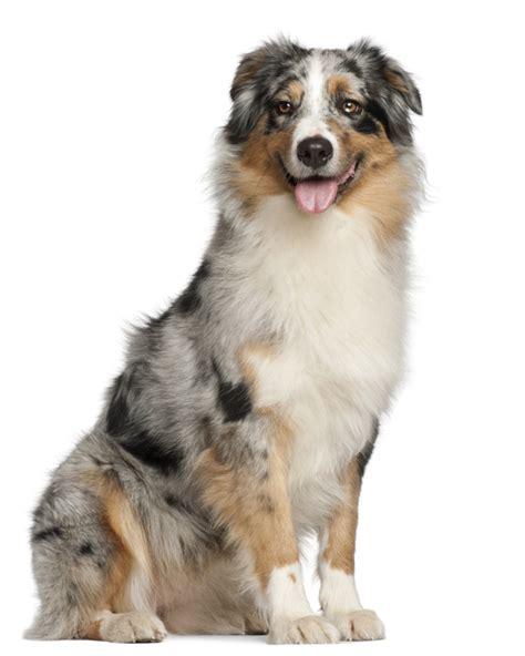 australian puppies for sale australian shepherd puppies breed information puppies for sale