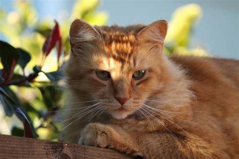 imagenes de jardines con gatos el gato atigrado naranja car 225 cter y caracter 237 sticas