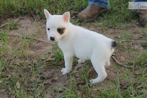 white dogs with blue puppies white blue queensland heeler australian cattle pets world