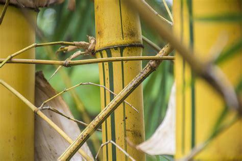 Mon Bambou Devient Jaune tige bambou devient jaune