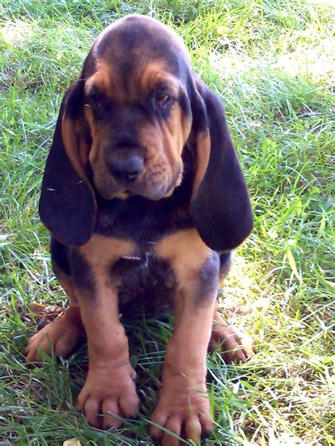 bloodhound colors european bloodhound puppy sgt lucky the bloodhound