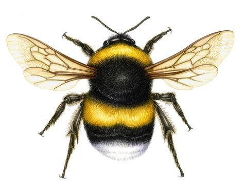 Bumble Bee Illustration - Cliparts.co