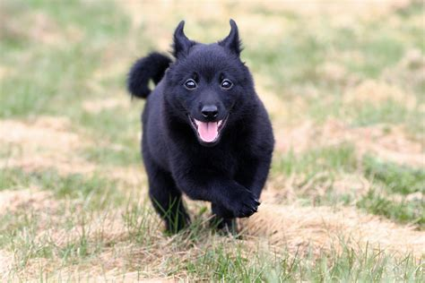 schipperke puppies small breeds the most complete information about small breeds