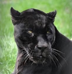 Jaguar Panther Black Panther Melanistic Jaguar Panthera Onca Niabi