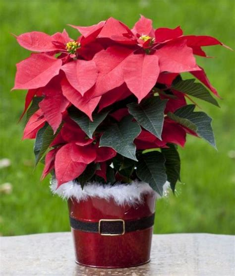 red poinsettias with christmas planter perfect for flowers