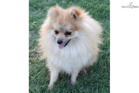 pomeranian puppies for sale in oklahoma city pomeranian puppy for sale near oklahoma city oklahoma 7b018373 30a1