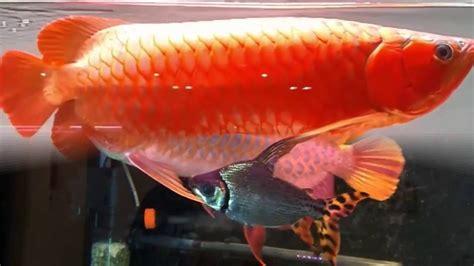 Anakan Arwana Golden ikan arwana termahal golden dan doovi