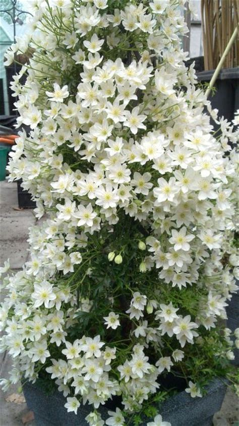 evergreen climbing plants for containers 116 best shade container gardens images on