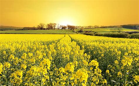 yellow field field flowers grass house landscape nature