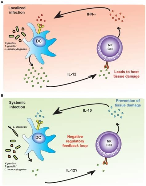 frontiers regulatory dendritic cells for figure 4 activation of killer cells during