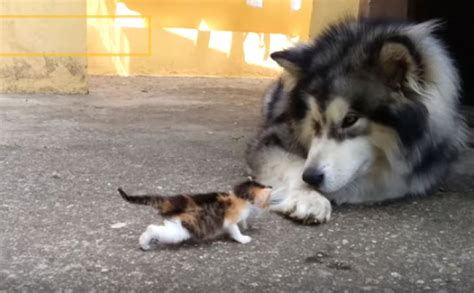 Healthylac For Puppies Kittens Isi 10 fluffy malamute totally confused by tiny kitten s meows of