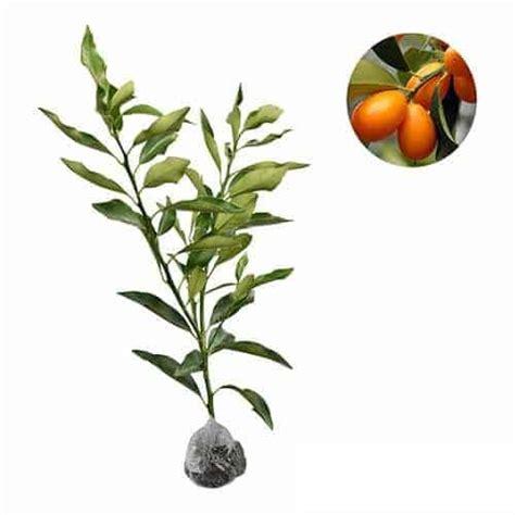 jual tanaman jeruk nagami nagami kumquat bibit