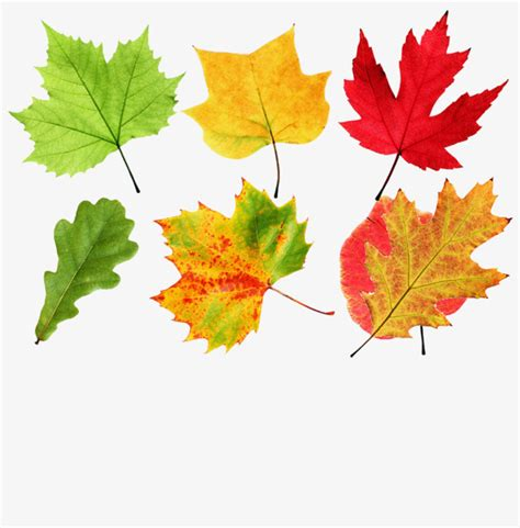 maple tree leaf shape maple leaf shapes collection shapes clipart colorful fall png image and clipart for free