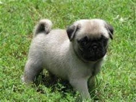pug rehoming dogs henderson ky free classified ads
