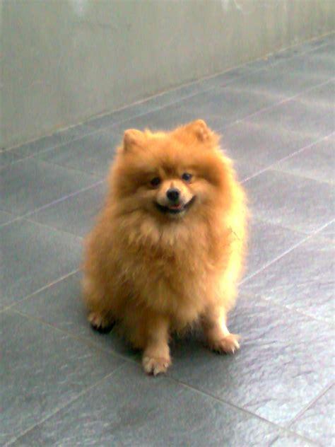dijual anjing pomeranian