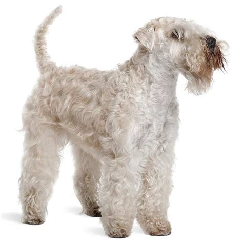 Soft Coated Wheaten Terrier Shedding by Soft Coated Wheaten Terrier Soft Coated Wheaten Terrier Pet Insurance Info