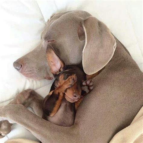 dogs cuddling 12 dogs who mastered the of cuddling iheartdogs