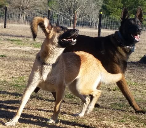 belgian malinois puppies for sale in nc newmanhaus kennels fayetteville nc