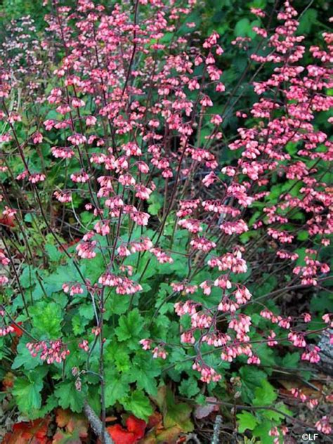 container plants for shade coral bells for the home pinterest