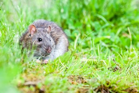 rats in my backyard keep rats out of your home and yard