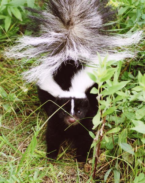 how do you get rid of skunks in your backyard how to get rid of a skunk in your backyard 100 how to get rid of a skunk in your