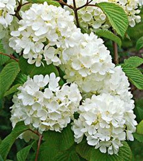 common flowering shrubs 1000 images about shrubs bushes on