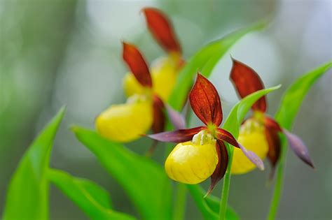 s slipper orchid lady s slipper orchid nature photo